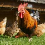 <h5><strong>AGRO</strong></h5>El sector avícola tiene demanda, pero pierde rentabilidad