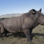 <h5><strong>CONSERVACIONISMO</strong></h5>Sudáfrica reduce un 25% la caza de rinocerontes