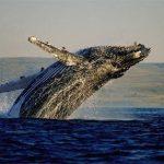 <h5><strong>TURISMO</strong></h5>Una experiencia de ensueño: el avistamiento de ballenas en Sudáfrica