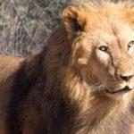 Leones santiagueños liberados en Sudáfrica