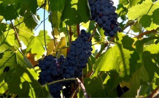 La producción mundial de vino en 2019 cae un 10% debido a heladas y sequías