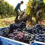 COMEX<BR>La vendimia 2020 en el Hemisferio Sur deja mayores producciones en Uruguay y Sudáfrica