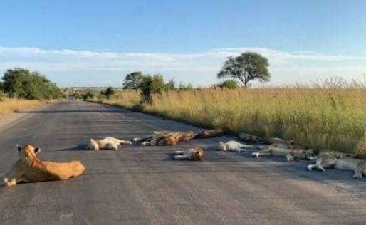 TURISMO<br>Coronavirus en Sudáfrica: la tierna postal de leones descansando en la ruta, libre de safaris